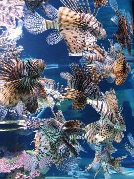 Lion Fish at the Israel Aquarium